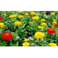Quality 20%-50% Tagetes Erecta Extract ( Lutein ) ,  Natural Dietary Supplement Ingredient wholesale